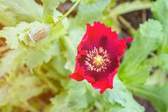 Red Opium poppy Flowers blossom on wild field Royalty Free Stock Photo