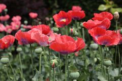 Red opium poppy. Papaver somniferum, commonly known as the opium poppy or breadseed poppy, is a species of flowering plant in the family Papaveraceae. It is the royalty free stock images