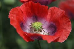 Red opium poppy. Papaver somniferum, commonly known as the opium poppy or breadseed poppy, is a species of flowering plant in the family Papaveraceae. It is the stock photography