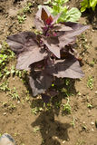 Red orach (Atriplex hortensis) Royalty Free Stock Photography