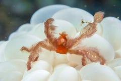 Red orang utan crab on hard coral macro Royalty Free Stock Image