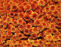 Red and orange aster callistephus flowers on a sunny day Stock Image