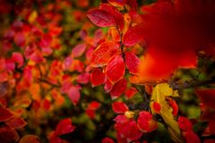 Red and Orange Autumn Leaves Background.
