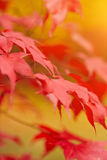 Red and Orange Autumn Leaves Background Stock Images