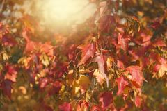 Red and orange autumn leaves background. Backlight. Red and orange autumn leaves background. Backlight Stock Photography