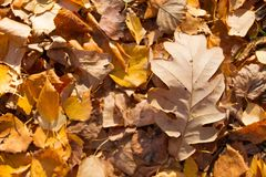 Red and Orange Autumn Leaves Background. Image royalty free stock images