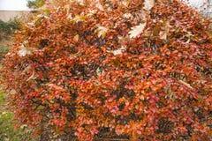 Red, orange autumn leaves on bush in park Stock Image