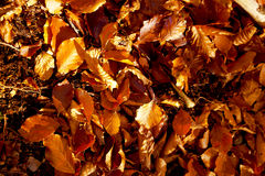 Red and Orange Autumn Leaves, color background. royalty free stock images