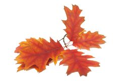 Red orange autumn leaves isolated. On the white background stock image