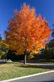 Red Orange Autumn Tree. Isolated tree in autumn with red and orange foliage Stock Images