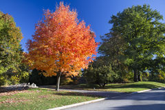 Red Orange Autumn Tree. Isolated tree in autumn with red and orange foliage Royalty Free Stock Photography