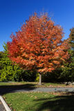 Red Orange Autumn Tree. Isolated tree in autumn with red and orange foliage. Filter effect for added drama Royalty Free Stock Photography