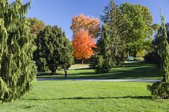 Red Orange Autumn Tree. Isolated tree in autumn with red and orange foliage, surrounded by evergreens Royalty Free Stock Photography