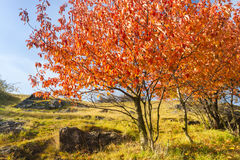 Red and Orange Autumn Trees. On Meadow with Blue Sky on Background royalty free stock photos