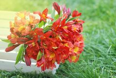 Red Orange Beautiful Alstromeria Lily Flower Bouquet Green Grass Natural background. toned. Spring Summer time. Red Orange Beautiful Alstromeria Lily Flower Stock Images