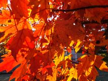Sunlight through autumn maple leaves. Red orange blue sky vibrant tree branches yellow saturation forest plant Royalty Free Stock Photography