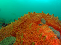 Red Orange Boring Sponge. Appears to encrust, but actually bores into coral heads. Numerous low warts-like spots on the surface.This mound was taken off the stock photography