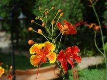 Caesalpinia pulcherrima flowers. Royalty Free Stock Photos