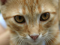 Red orange cat. Young cat looking into camera royalty free stock photos