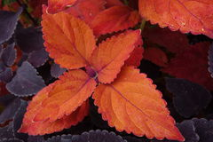 Red and orange coleus foliage close-up. Bright orange and red coleus foliage are part of fall season Royalty Free Stock Image