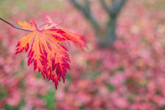 Red and orange colored leaf of a maple tree. In fall Stock Photos