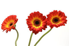 Red and orange daisy flower Royalty Free Stock Photo