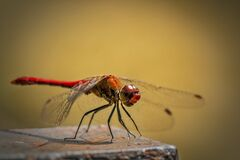 Red and Orange Dragonfly Royalty Free Stock Image