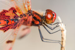 Red and Orange Dragonfly. Side View Stock Photography