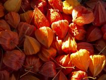 Red orange dried physalis background royalty free stock image