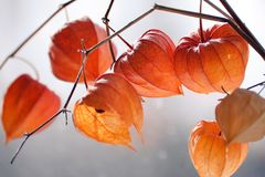 Free Red Orange Dry Physalis Alkekengi Lanterns Stock Photography - 110992892