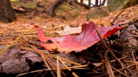 Red and orange dying leaf on the ground. Close-up photo of a red and orange dying leaf on the ground full of spines. Autumn 2018, Quebec, Canada stock photography