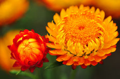 Red Orange Everlasting Flower Royalty Free Stock Photos