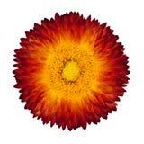 Red Orange Everlasting Flower Isolated on White. Single Beautiful Helipterum - Everlasting Flower, Immortelle, Rhodanthe, Strawflower Isolated on White Royalty Free Stock Photos