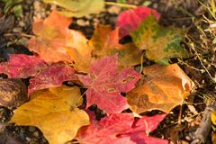 Fall Colors. Red and orange fall leaves, drought damage Royalty Free Stock Image