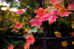 Fall Colors. Red and orange fall leaves, drought damage Royalty Free Stock Photo
