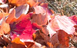 Red and orange fall leaves. A pile of red, brown and orange fall leaves with dark spots from drought Royalty Free Stock Photos