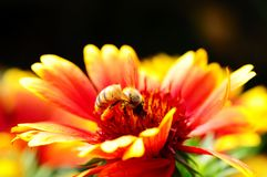 Red and orange flower with a bee Stock Photos