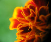 Red and orange flower in bloom Royalty Free Stock Photo