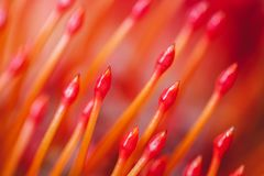 Red orange flower Pincushion Protea close-up macro. Abstract bright orange background and texture. Floral pattern. Red orange flower Pincushion Protea closeup royalty free stock image