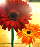 Red and Orange Flowers. With light Stock Images