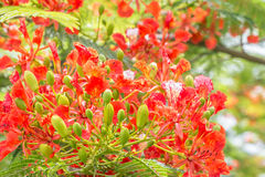 Red and orange flowers, Delonix regia on tree. Royalty Free Stock Images