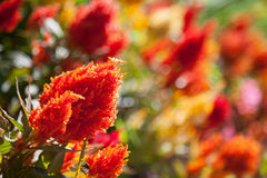 Red and orange flowers in garden Royalty Free Stock Photo