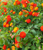 Red and orange flowers Stock Image