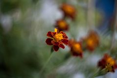 Red Orange Flowers Retro Style shot with shallow Dept of Field. And Wonderful Bokeh, captured with Old Vintage Lens royalty free stock photo