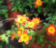 Red and orange flowers with yellow centers. Some pretty yellow/orange centered flowers with red outer petals some close up and some in a distance inside a stock photography