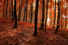 Red orange forest background Stock Images