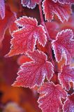 Red orange frosted leaves of Physocarpus opulifolius diabolo. Red, orange frosted leaves of Physocarpus opulifolius diabolo nine bark close up in autumn garden Royalty Free Stock Photos