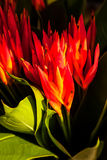 Red and Orange Heliconia psittacorum Flowers Stock Images