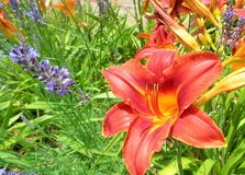 Red Orange Hemerocallis Lily with Lavendar Lavandula RS. This is a close up image of a bright Red Orange Day Lily, its colorful petals glowing in the noonday sun royalty free stock photos