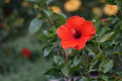 Red orange hibiscus royalty free stock photos